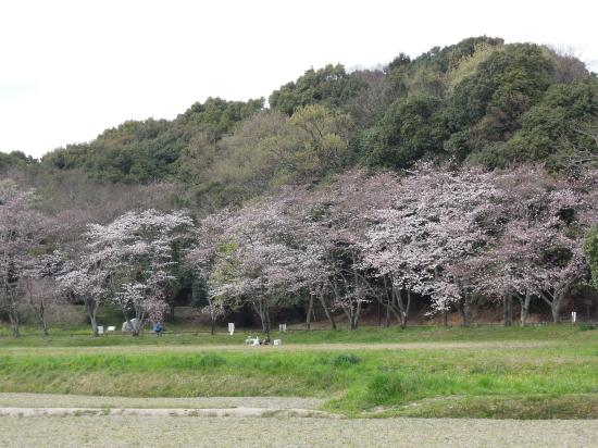 大宰府政庁跡の桜170405-2