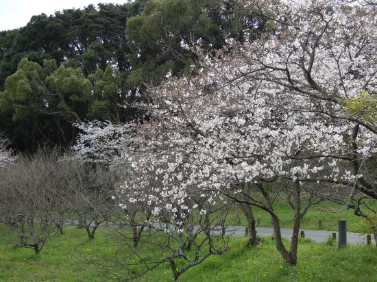大宰府政庁跡の桜170405-4