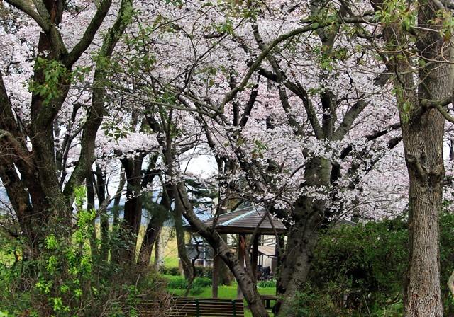 公園の桜 1