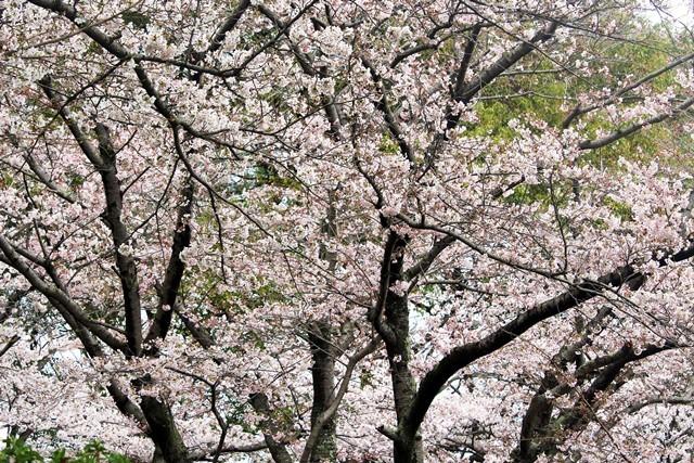 公園の桜 2