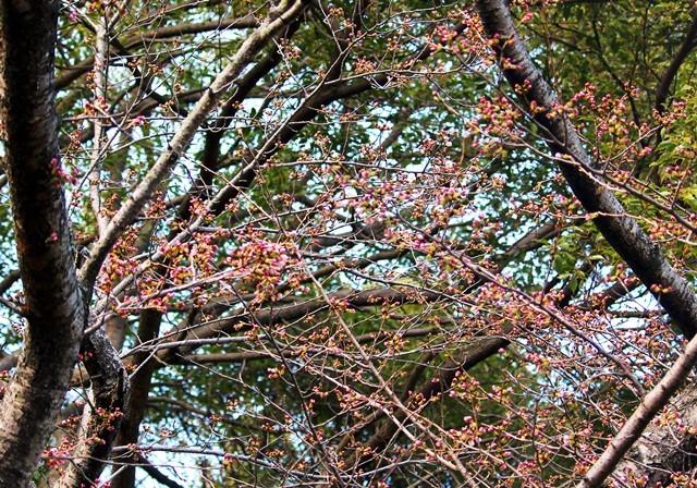 桜 4月1日