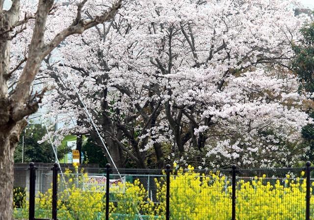 桜と菜の花 か