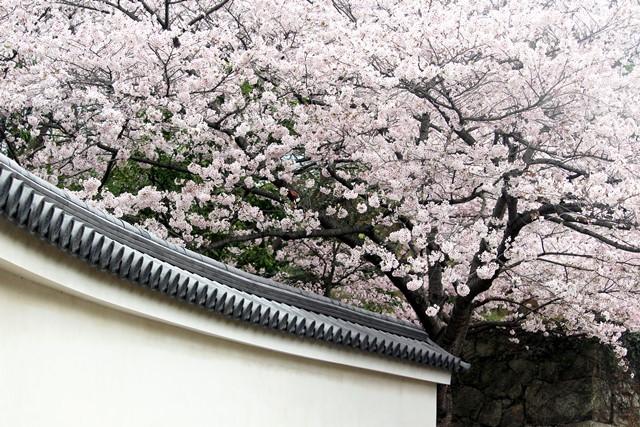 塀と桜 1