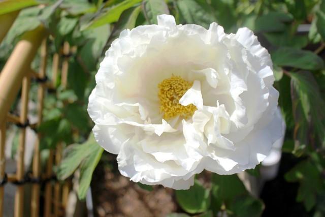 I庭の牡丹