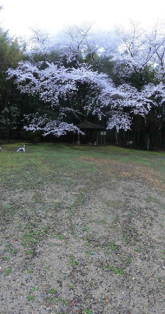 霧雨 桜 公園