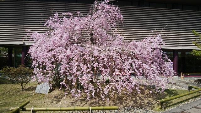 小倉山荘のサクラ