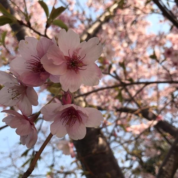 大漁桜20171