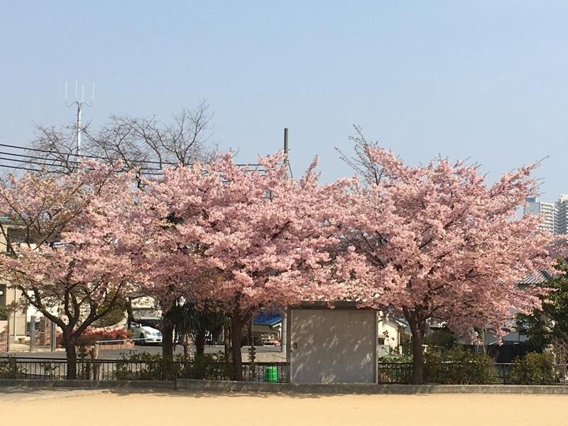 大漁桜20172
