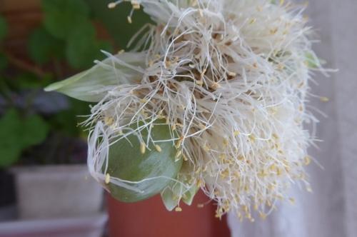 マユハケオモトの花後