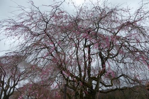 京都府・夜久野町 緑化センターの枝垂れ桜の様子