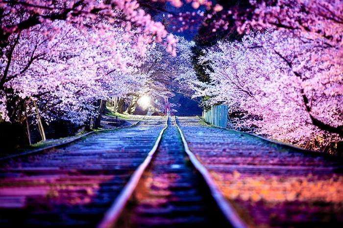 sakura-night.jpg