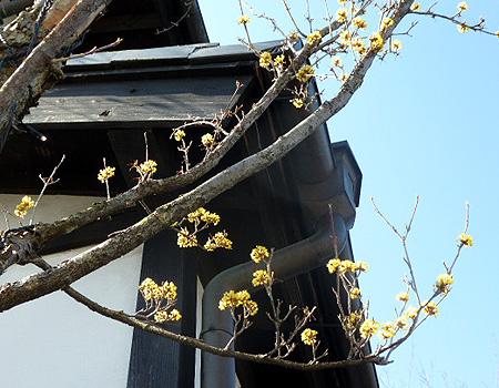大和屋山茱萸