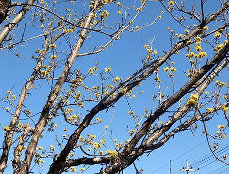 大和屋山茱萸1