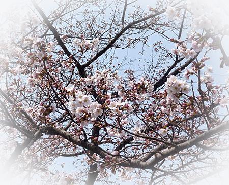 cafeあしび前 公園の桜