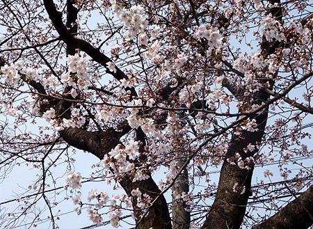 cafeあしび前公園の桜