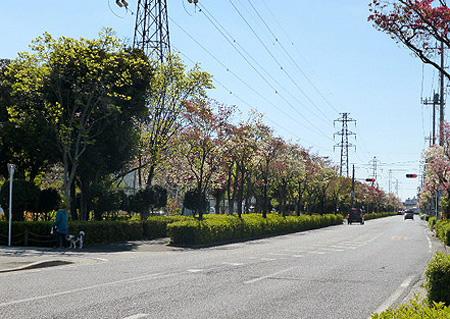 花水木通り1