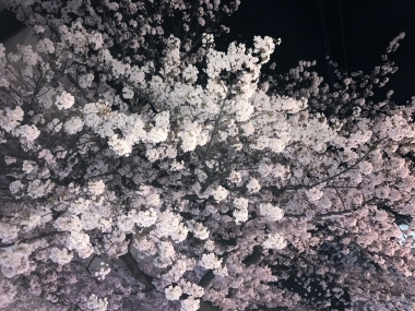 sakura_20170412141038182.jpg