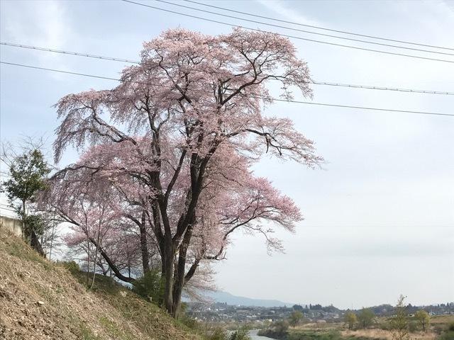 29.4.10 桜2