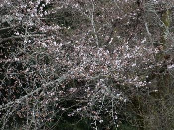 2017.4.8桜