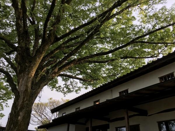 170427-ケヤキの木の下で