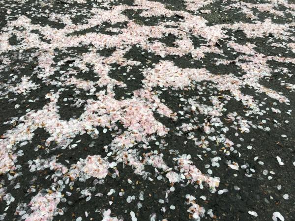 170427-桜の花びら