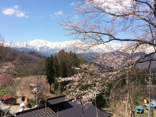 立屋の桜 (1) (520x390)