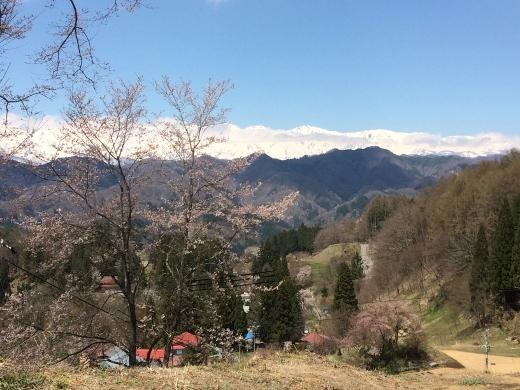 立屋の桜 (2) (520x390)