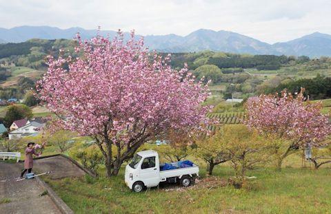 満開の八重桜の収穫