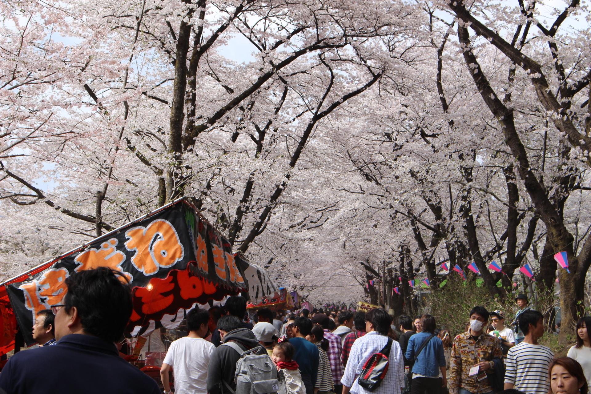 千本木桜2017年
