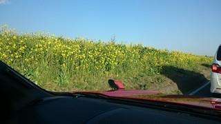 s渡良瀬川沿いの菜の花