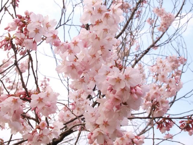 s01近所の桜2