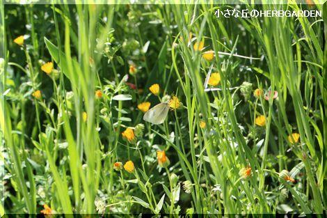 470 カレンデュラと蝶