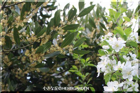 470 月桂樹と姫リンゴ