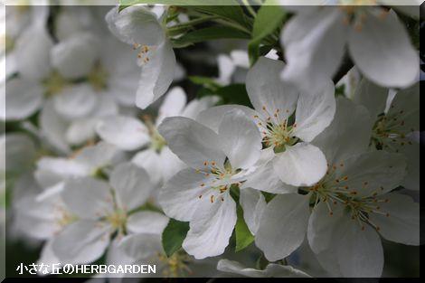 470 姫リンゴの花