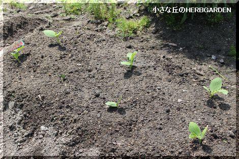 470 カボチャ、植えた