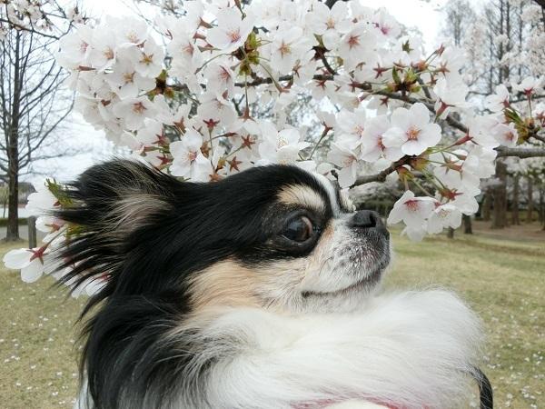 CIMG1810桜2