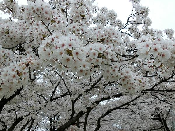CIMG1811桜