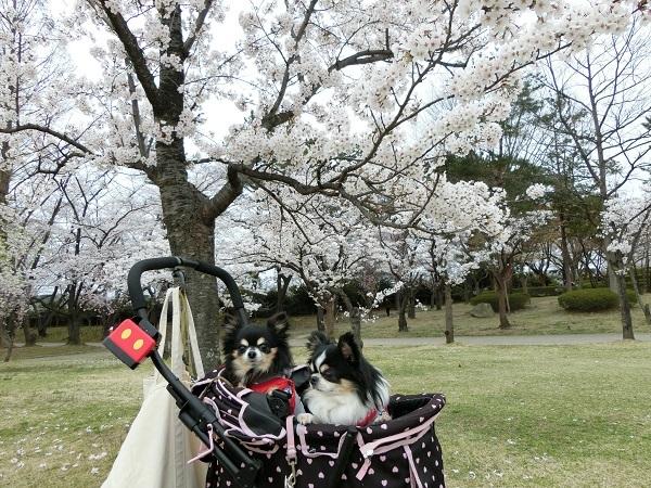 CIMG1809桜5
