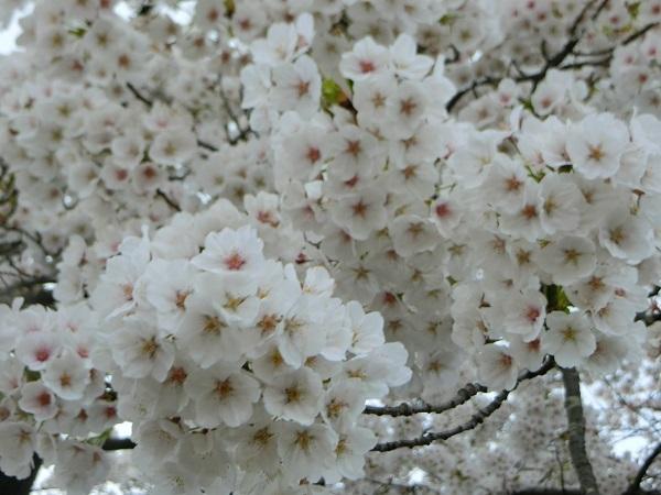 CIMG1833桜