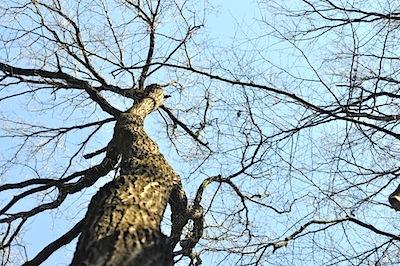 コナラ樹冠