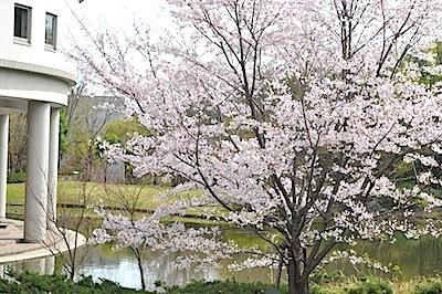 12号館の桜