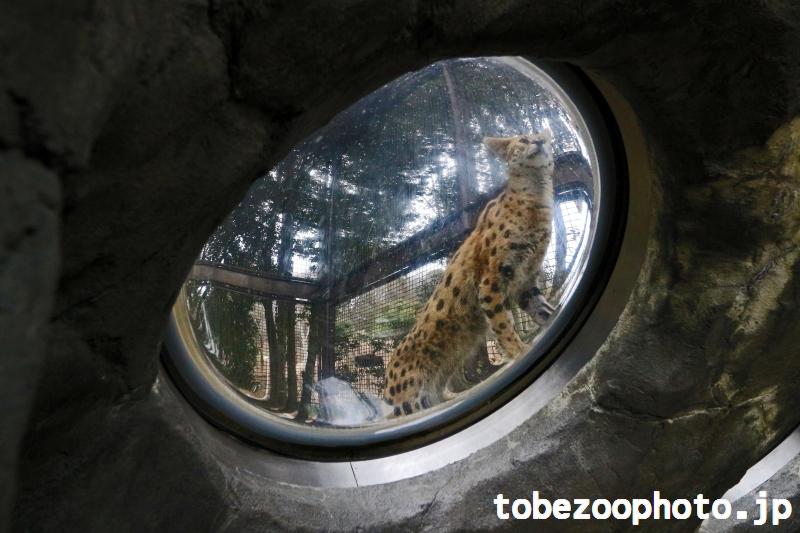 とべ動物園ねこ歩きイベントにてドームから見たサーバルちゃんです。