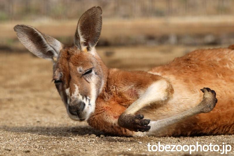 こっくり・・・こっくり・・・頭が揺れながら寝ているカンガルーさん