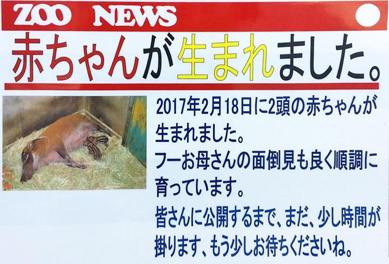 アカカワイノシシ(赤河猪)の赤ちゃんが生まれました。