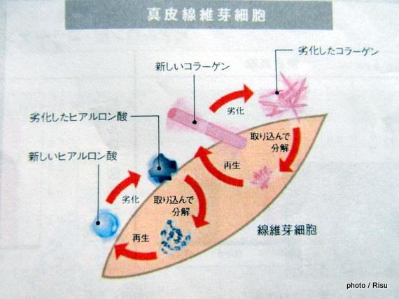 真皮線維芽細胞にてヒアルロン酸、コラーゲン再生の仕組み