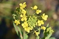 小松菜の花