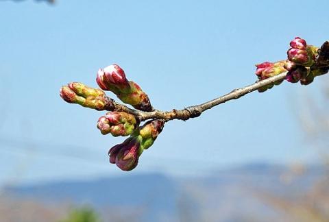 秩父長瀞の桜