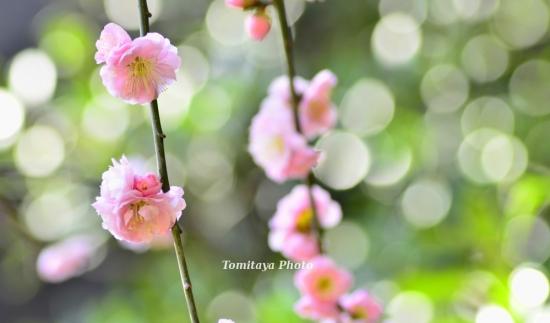 天王寺の梅と光玉