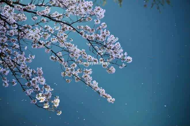 桜 千鳥ヶ淵 青