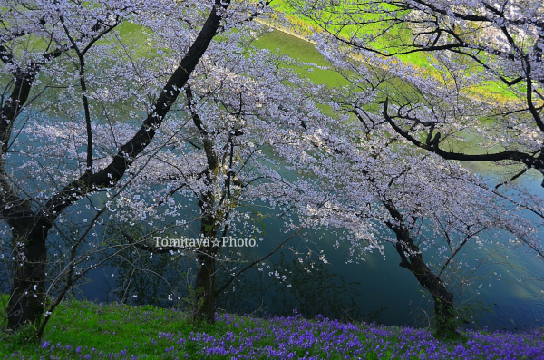 桜 千鳥ヶ淵 水面